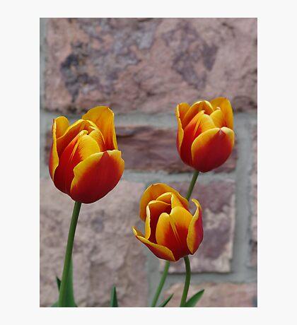 Tulip Trio Photographic Print