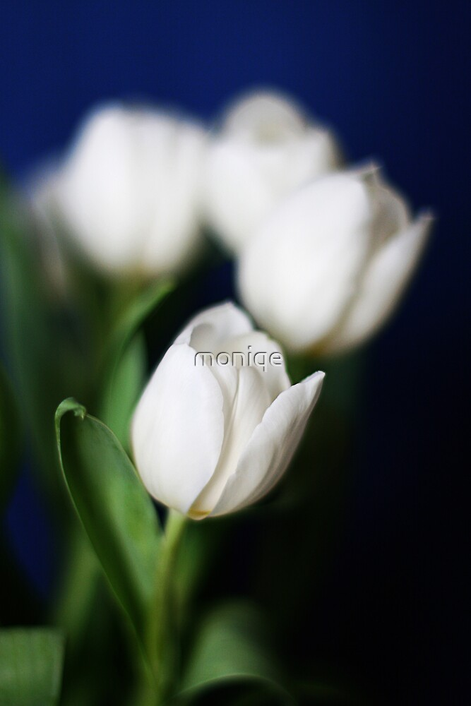 tulips by moniqe