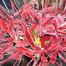 spider lily flower art prints by derekmccrea