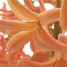 Orange Hyacinth by karenkirkham