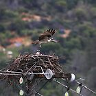 Osprey In Flight by Laura Puglia