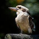 Laughing Kookaburra by Chris  Randall
