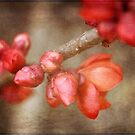 Chaenomeles buds by Astrid Ewing Photography