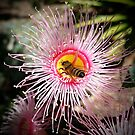 Bee on flowering gum by Steven Guy