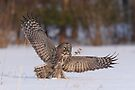 Great Gray Hunter by Todd Weeks