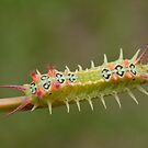 Cup Moth Caterpillar by Andrew Trevor-Jones