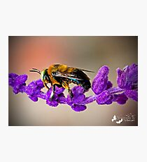 Carpenter Bee with the Big Green Eyes Photographic Print