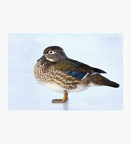 My favourite duck - Wood Duck Photographic Print