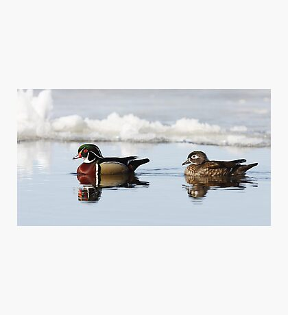 Wood Ducks on river Photographic Print