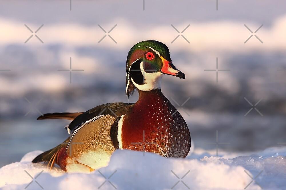 Wood duck by Jim Cumming