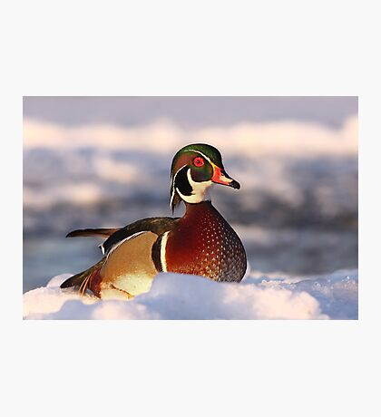 Wood duck Photographic Print
