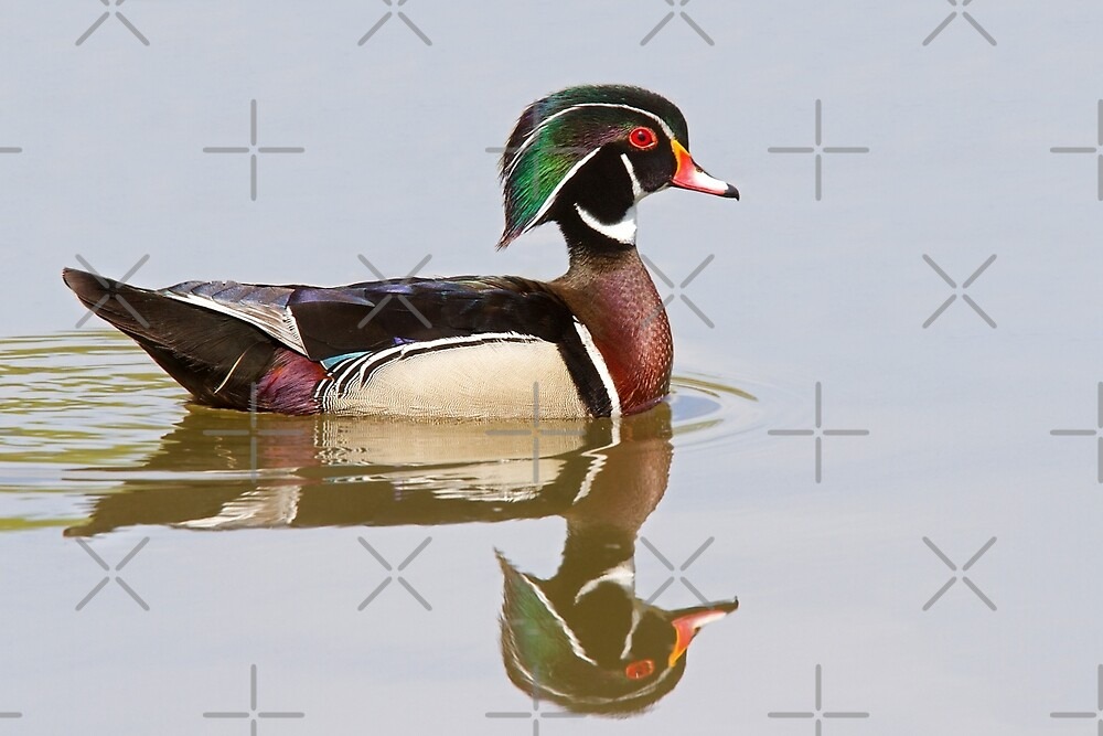 Reflective Wood - Wood Duck by Jim Cumming