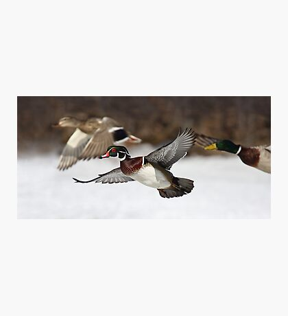 Flying the friendly skies - Wood Duck Photographic Print