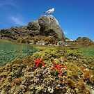 Mediterranean gull with red sea stars underwater by Dam - www.seaphotoart.com
