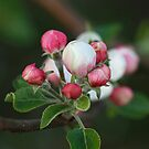 Apple ball blossoms by bared