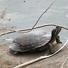 Turtle Close-Up, Central Park, New York City  by lenspiro