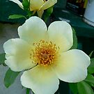 Christmas Rose by RuthBaker