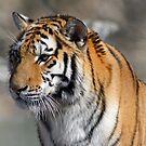Amur Tiger by Marija