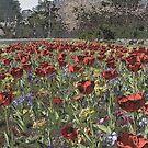 Chrome  Tulips by Alexander Mcrobbie-Munro