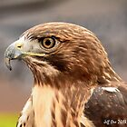 Red-Tailed Hawk (Buteo,jamaicensis) by Jeff Ore