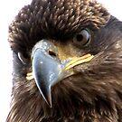 Bald Eagle: Juvenile Portrait II by David Friederich