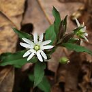 Star Chickweed by Richard G Witham
