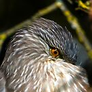 Night Heron Juvenile by David Friederich