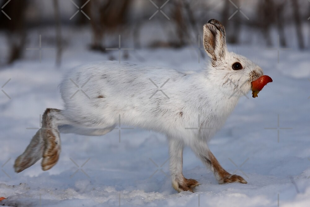 Quot Snowshoe Hare Peels Away Quot By Jim Cumming Redbubble