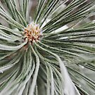 Frosted Pine by dotstarstudios