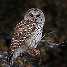 Barred Owl - Kanata by Jim Cumming