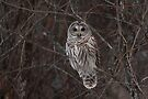 Barred Owl - Kanata, Ont by Jim Cumming