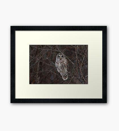 Barred Owl - Kanata, Ont Framed Print