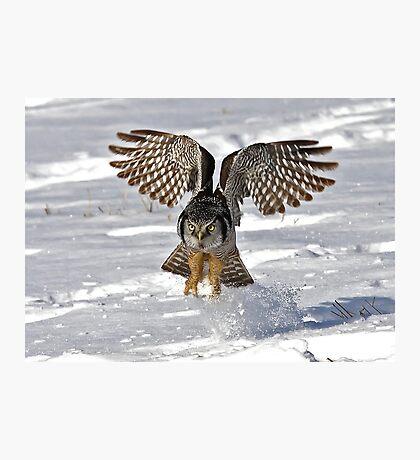 Snow Blast - Northern Hawk owl Photographic Print