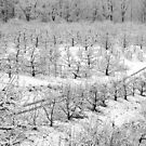 Apple Orchard In Snow by Mark  Gilliland