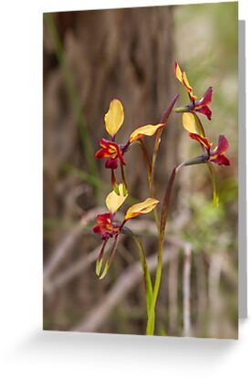 Donkey Orchid #2 by Elaine Teague