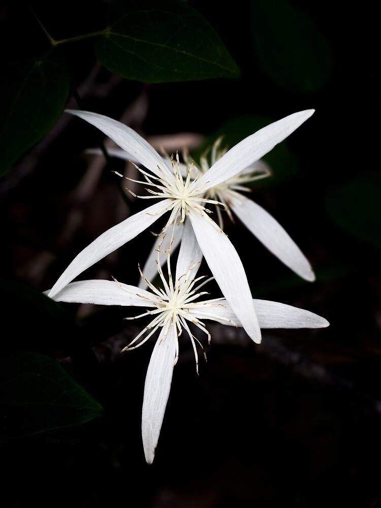 Clematis pubescens by Elaine Teague