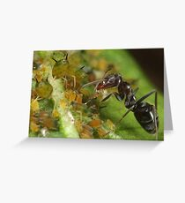 Ant-Aphid Symbiosis Greeting Card