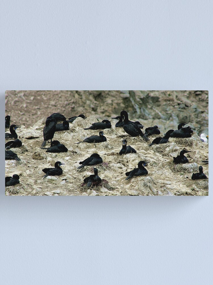 Alternate view of Breeding Brandt's Cormorants  Canvas Print