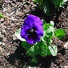 Purple or Blue by cetstreasures
