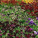 Pansy Garden by gardenpictures