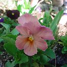 Pink Pansy by cetstreasures