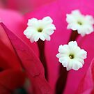 Pink and White Macro by Teresa Zieba