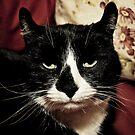 Curly-Eared Cat by Rachel Blumenthal