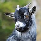 Young Goat by mc27
