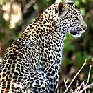 PATIENCE... The Leopard - panthera pardus - Luiperd by Magriet Meintjes