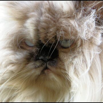 Jesse, White and Black Persian Himalayan cat by indicat