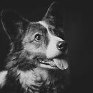 Corgi in black & white by Karen Havenaar