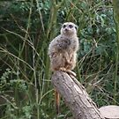 one proud meerkat by carol oakes