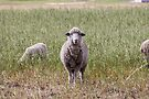 Sheep in rural field and meadow looking directly at camera by Kendall Anderson