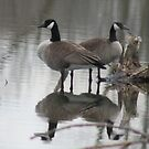 Geese Reflected by Dave & Trena Puckett